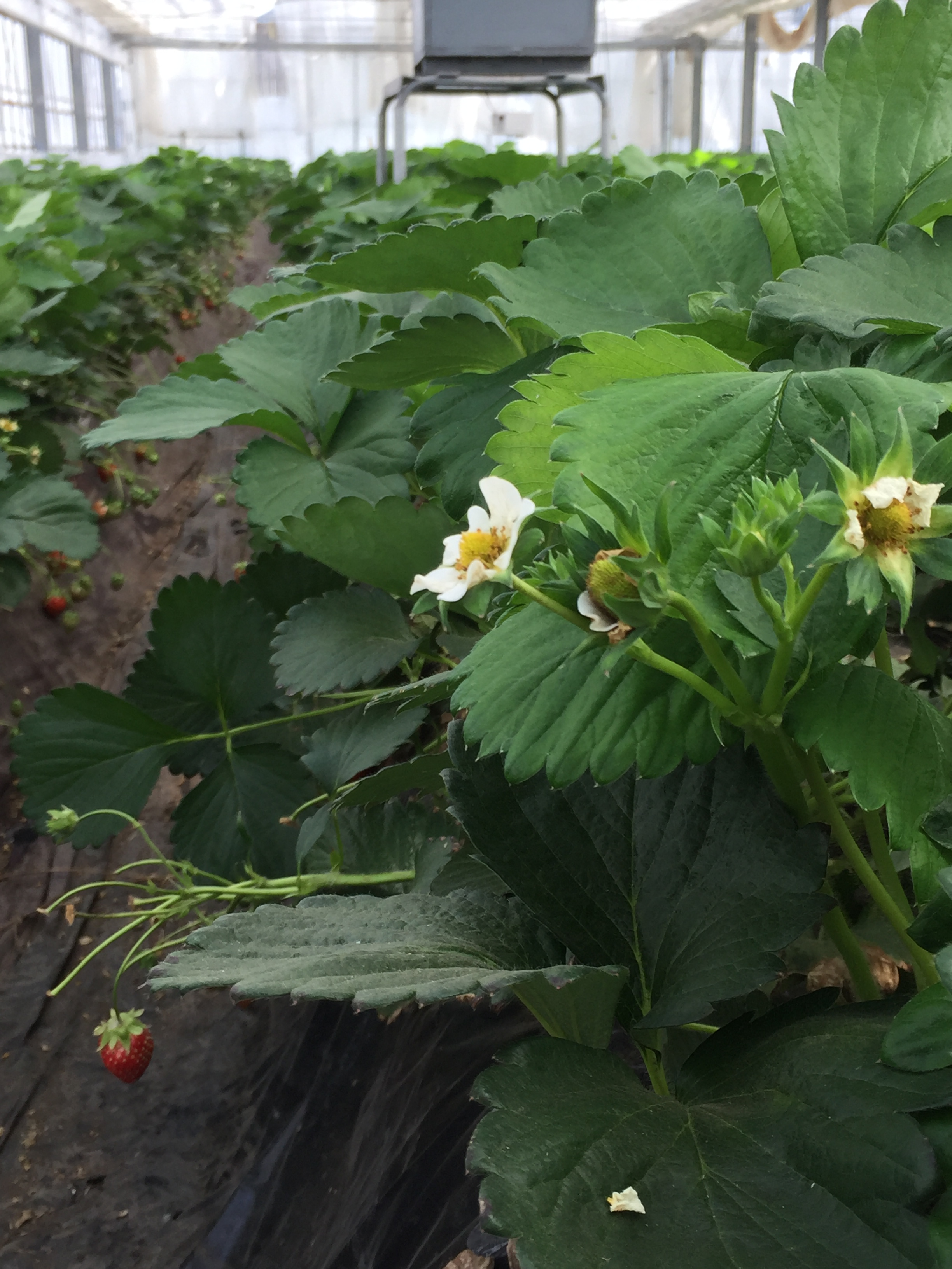 イチゴ     《養液土耕栽培》  導入事例
